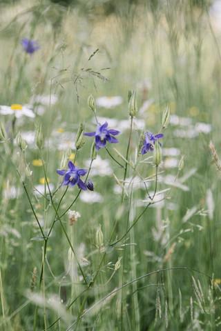 Lila Akeleien in Sommerblumenwiese - fotokunst von Nadja Jacke