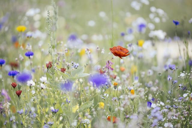 Sommerblumenwiese mit Wildblumen und Mohn - fotokunst von Nadja Jacke