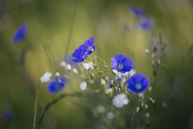 Flachs Blüten in der Sommersonne - fotokunst von Nadja Jacke