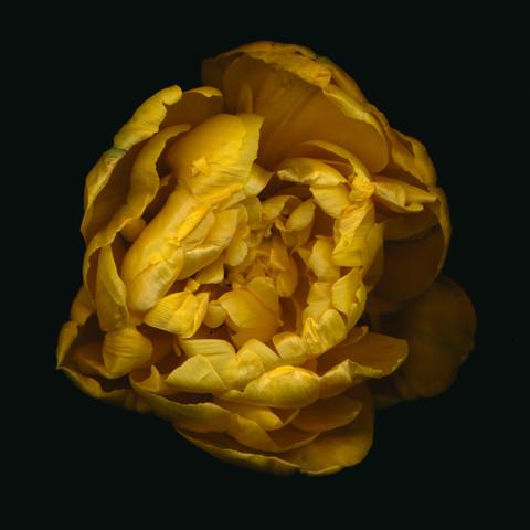Gelbe gefüllte Tulpe - fotokunst von Ramona Reimann
