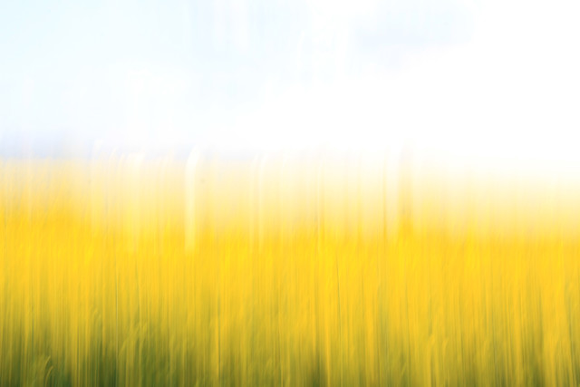 fields of gold 99 - fotokunst von Steffi Louis