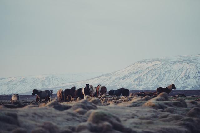 Islandpferde - fotokunst von Pascal Deckarm