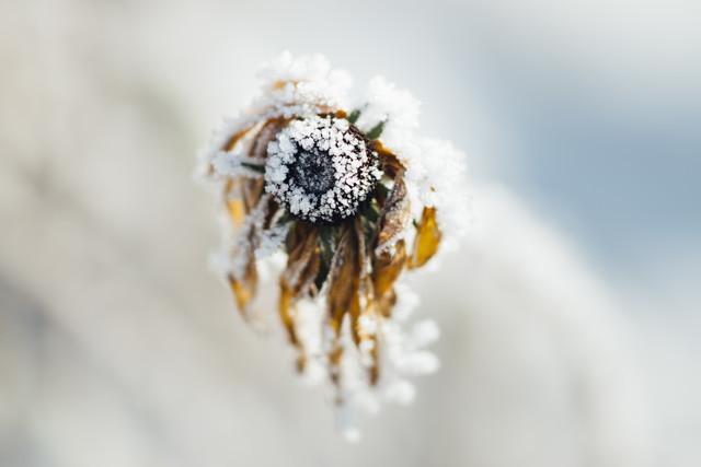 Frostiger Sonnenhut - fotokunst von Nadja Jacke