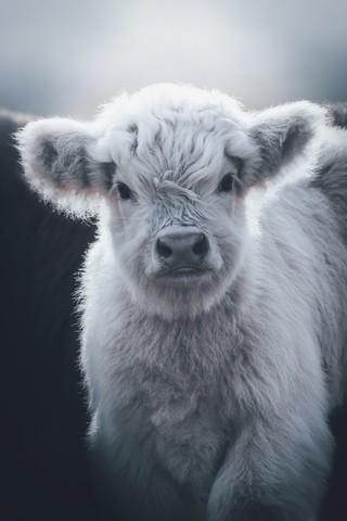 Little White Highland Cow - fotokunst von Patrick Monatsberger