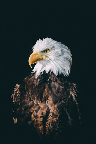 Weißkopfseeadler - fotokunst von Patrick Monatsberger