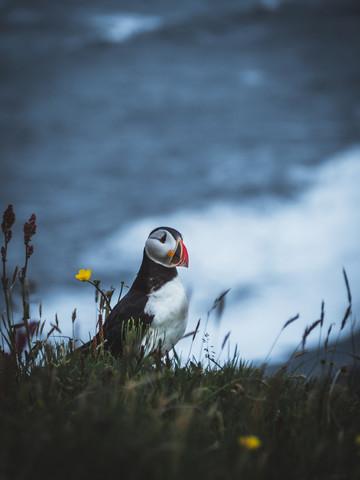 Papageientaucher in Island - fotokunst von Roman Huber