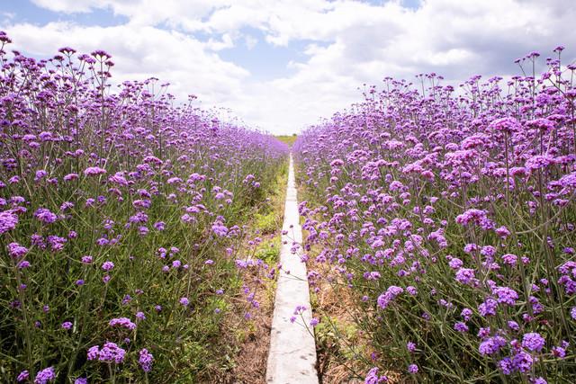 Purple flower field - fotokunst von Oona Kallanmaa