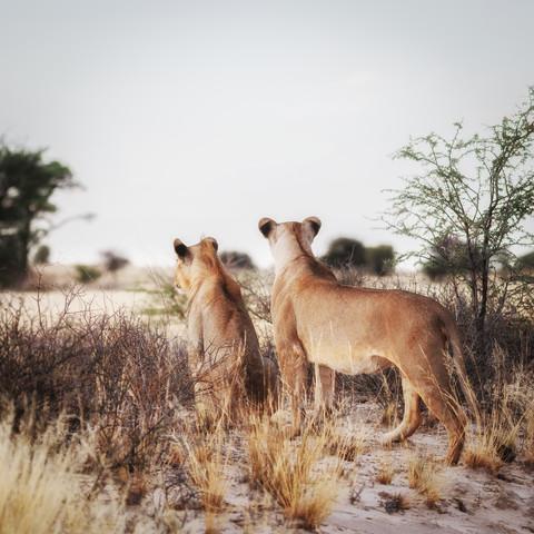 Löwen auf Beutesuche im Kgalagadi Transfrontier Park - fotokunst von Dennis Wehrmann