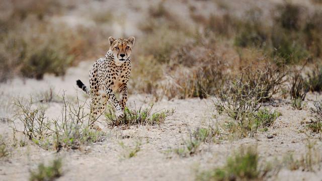 Gepardenjagd - fotokunst von Dennis Wehrmann