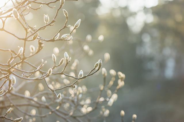 Magnolienknospen im Sonnenlicht - fotokunst von Nadja Jacke