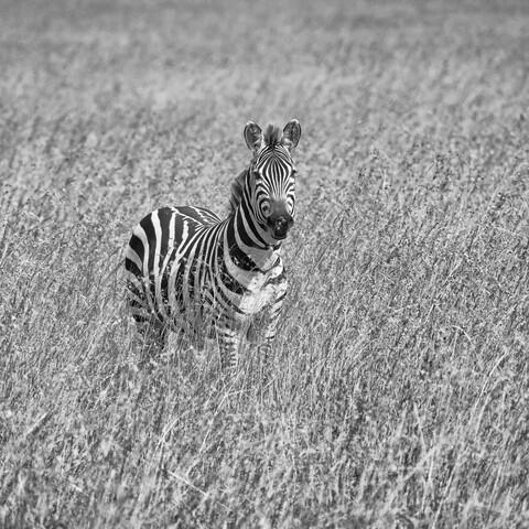 Zebra im Gras - fotokunst von Angelika Stern