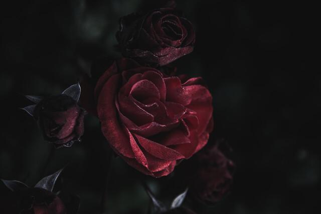 Dunkle Rose - fotokunst von Andrea Hansen