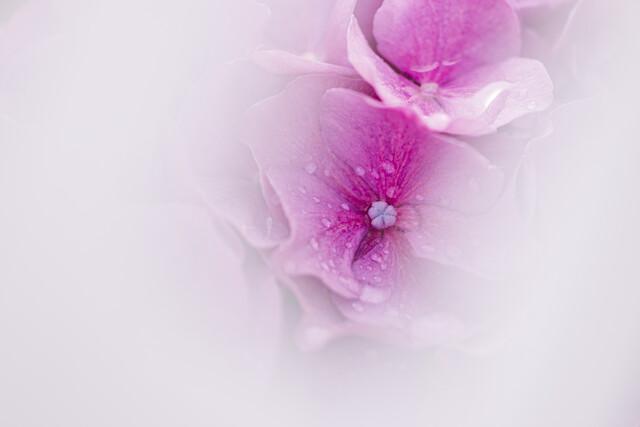 Hortensien - fotokunst von Nadja Jacke