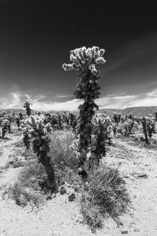 Cholla Cactus Garden, Joshua Tree National Park - fotokunst von Melanie Viola