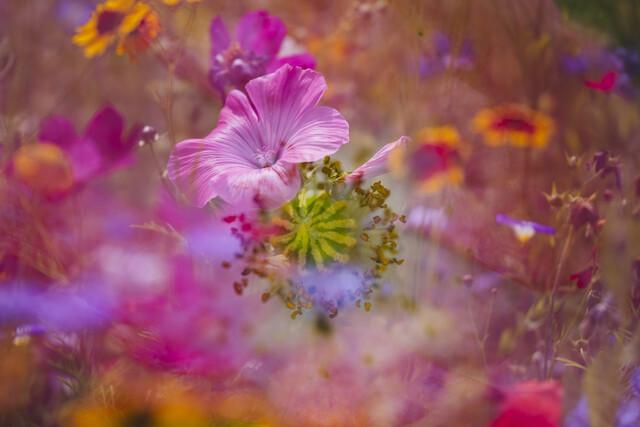 Farbenfrohe Blumenwiese mit Bechermalve - fotokunst von Nadja Jacke