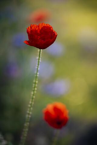 Mohnblüten in Sommerblumenwiese - fotokunst von Nadja Jacke