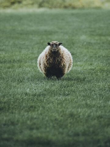 Portrait vom isländischen Schaf - fotokunst von Franz Sussbauer