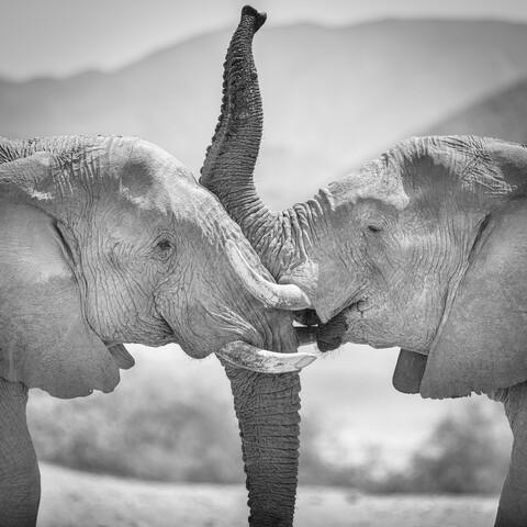 Portrait Wüstenelefanten Hoanib Flußbett Namibia - fotokunst von Dennis Wehrmann