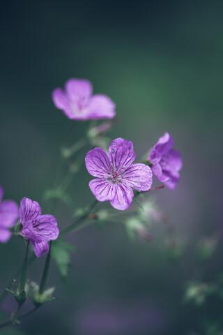 Storchschnabel Blüte Geranium - fotokunst von Nadja Jacke