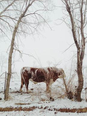 Kevin Russ, Snowy Bull (Vereinigte Staaten, Nordamerika)
