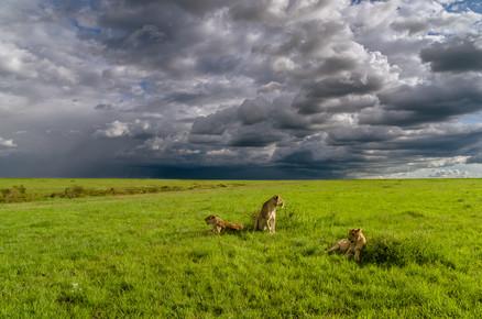 Ralf Germer, Junge Löwen – zu faul zum Jagen (Kenia, Afrika)