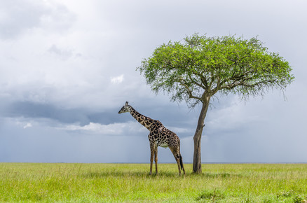 Ralf Germer, Schattensucher – eine Giraffe freut sich über Baumschatten (Kenia, Afrika)