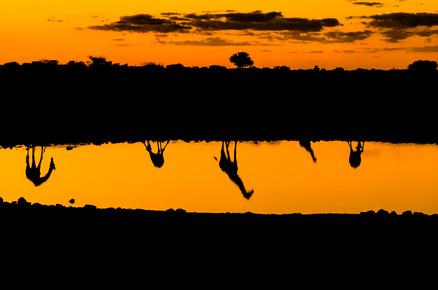 Ralf Germer, Giraffen am Wasser – Spiegelungen am Abend (Namibia, Afrika)