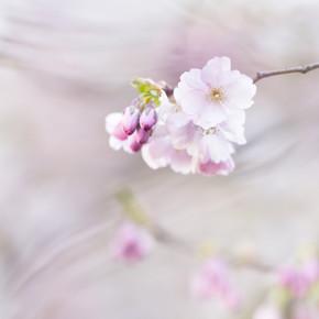 Nadja Jacke, zarte Kirschblüten im Frühling (Deutschland, Europa)