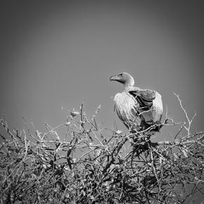 Dennis Wehrmann, Vulture Kapama Game Reserve South Africa (Südafrika, Afrika)