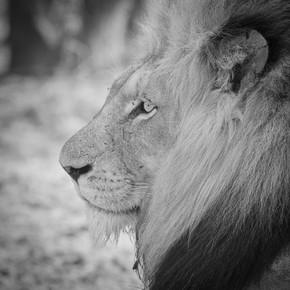 Dennis Wehrmann, Lion male Krüger National Park South Africa (Südafrika, Afrika)