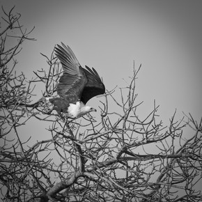Dennis Wehrmann, Sea Eagle Krüger National Park South Africa (Südafrika, Afrika)