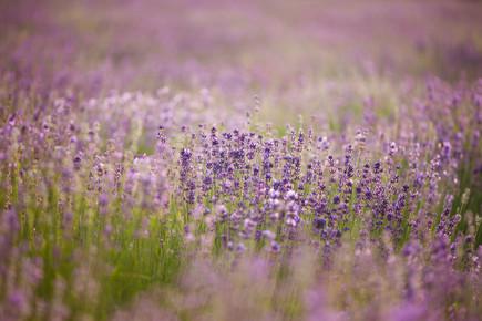 Nadja Jacke, Blühendes Lavendelfeld (Deutschland, Europa)