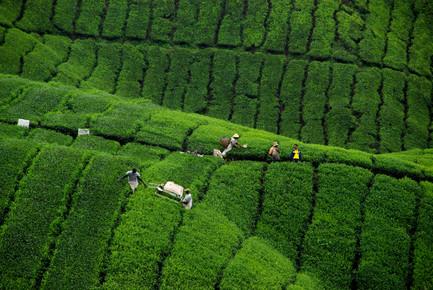 Martin Erichsen, Teeplantage in Malaysia (Malaysia, Asien)