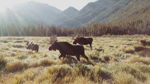 Kevin Russ, Rocky Mountain Moose (Vereinigte Staaten, Nordamerika)
