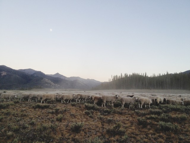 Ketchum Sheep Herd - Fineart photography by Kevin Russ
