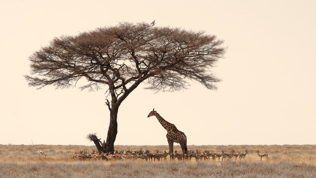 Searching for shade in middays heat - Etosha National Park Namib - Fineart photography by Dennis Wehrmann
