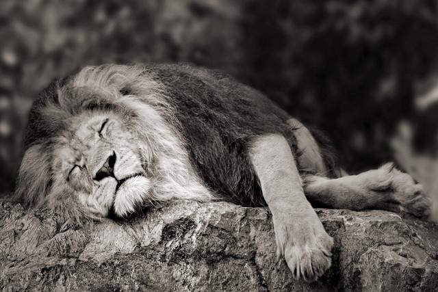schlafender Löwe - Fineart photography by Elke Krone