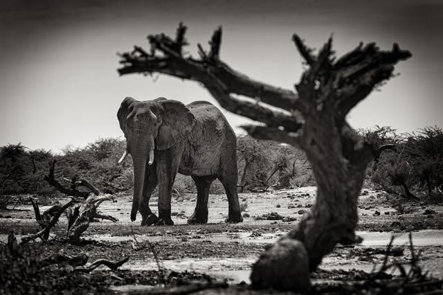 Elefant at Third bridge camp in Botsuana - Fineart photography by Franzel Drepper