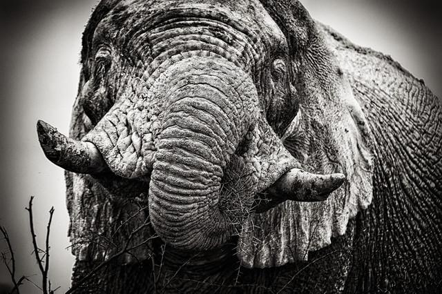 Portrait of a white elephant - Fineart photography by Franzel Drepper