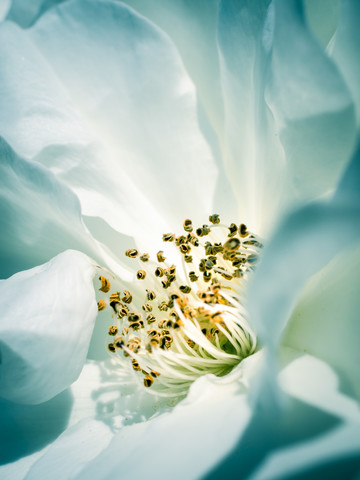 Rose II - Fineart photography by Gregor Ingenhoven