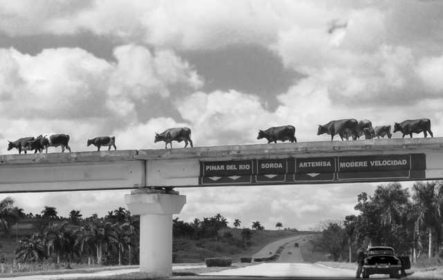 Cows rossing - Fineart photography by Lin Lin