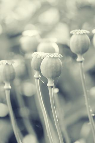 Poppy - Fineart photography by Falko Follert