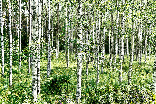 Birches - Fineart photography by Tim Bendixen