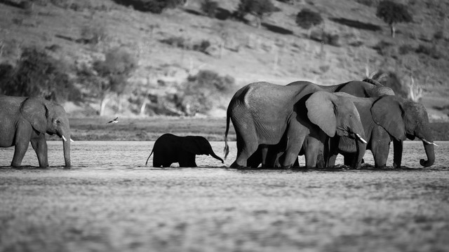 Elephants crossing the Sambesi - Fineart photography by Dennis Wehrmann