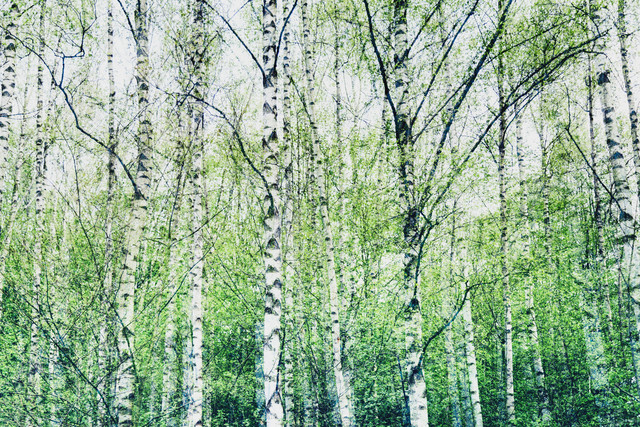birch forest - Fineart photography by Nadja Jacke