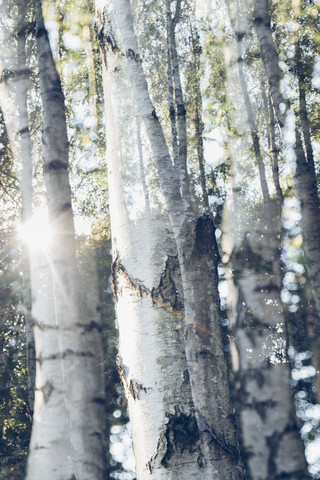 Birches in Sunlight - Fineart photography by Nadja Jacke