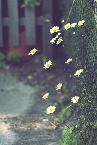 Daisies at the garden fence - Fineart photography by Nadja Jacke