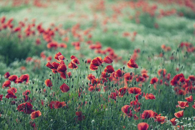 Poppy field in summer - Fineart photography by Nadja Jacke