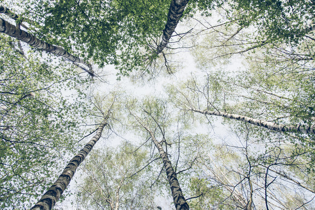 The sky full of birch trees in spring - Fineart photography by Nadja Jacke