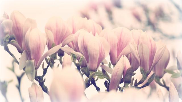 Romantic Magnolia - Fineart photography by Julia Delgado